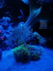 Pilzlederkorallenableger Meerwasser