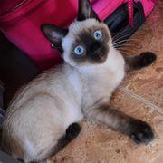 Junge Siam Katzen männlich