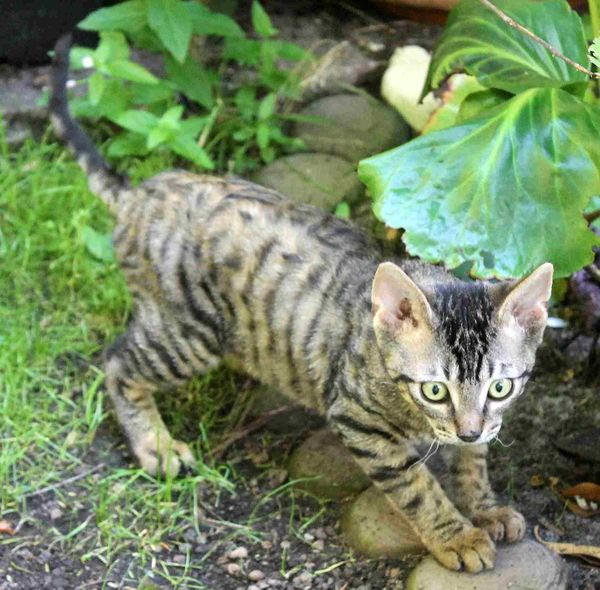 German Rex Kitten männl geb