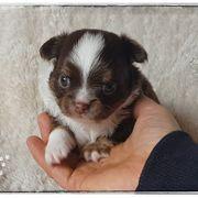 Typvoller Schoko Tricolor Chihuahua Rüde