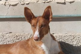 Poddy hat ein großes Entwicklungspotential: Kleinanzeigen aus Rosenheim Innenstadt - Rubrik Hunde