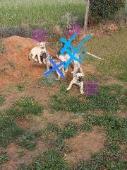 Husky-Mischlings-Welpen