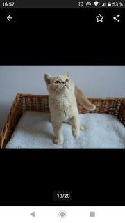 BKH Kater Kitten in Creme -