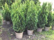 Thuja Smaragd Lebensbaum 80-90 cm