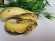 königspython pastel leopard clown 0