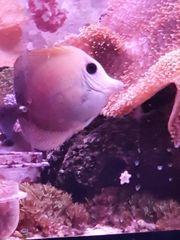 Meerwasser Doktor Fisch Doktorfisch Skopas