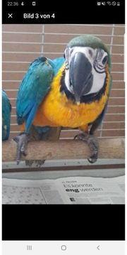 suche Ara Papageien graupapagaien