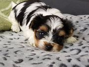 Yorkshire Terrier Welpe Biewer Yorkshire