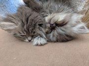 Perser Kätzchen zu verkaufen
