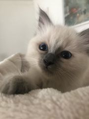 Ragdoll Kitten Katze