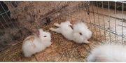 Kaninchen Hasen Zwergrexe Zwergkaninchen kastriert
