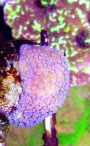 Meerwasser Montipora sp