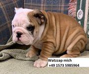 Liebevolle englische Bulldoggenwelpen zu verkaufen