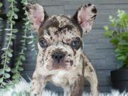 Französische bulldogge besondere merle Farben