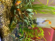 Fünfgürtelbarbe Barbe Aquarium Fische
