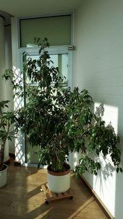 Zimmerpflanze Ficus Benjamini Birkenfeige