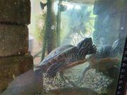 Versch Wasserschildkröten mit 500L Aquarium