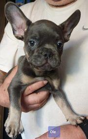 Französische Bulldogge 1 Welpen Junge