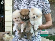 Wunderschöne Pomeranian Welpen zu verkaufen