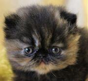 Perser -und Exotic Kitten