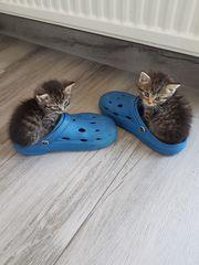 Perser-BKH-BLH-Kitten-Katzen-Baby