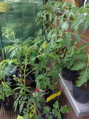Tomatenpflanzen Kirschtomaten Pflanzen Kirschtomatenpflanzen