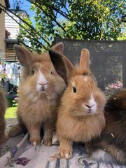 Zwergkaninchen Kaninchen Löwenköpfchen Kaninchenbabys von