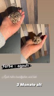 Hamster Babys