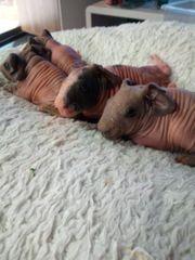 Skinny pigs Nachzuchten