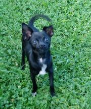 Chihuahua Mädchen 8 Monate