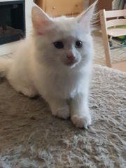 Wunderschöne Maine Coon Kitten in