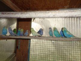 Junge Wellensittiche: Kleinanzeigen aus St Julian - Rubrik Vögel