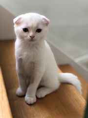 Scottish Fold Kätzchen Bounty sucht