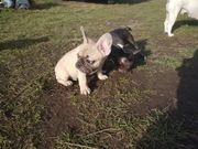 französische Bulldoggen Welpen 1 Rüden