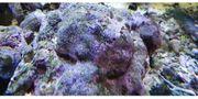 Meerwasser live Rock lebendes Riffgestein