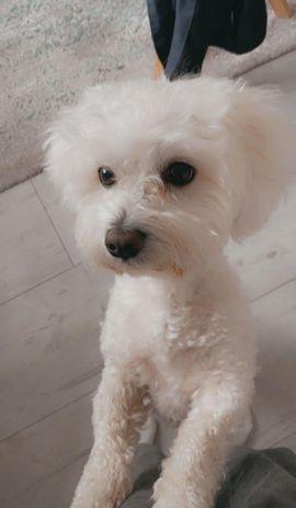 nicht zum verkaufen Deckrüde: Kleinanzeigen aus Merzenich - Rubrik Hunde