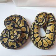 königspython 0 2 Pastel 66