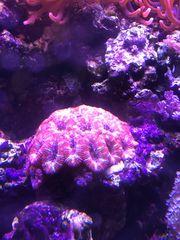 Acanthastrea LPS Korallen