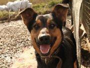 SARIK Schäferhund Mischling - würde gerne