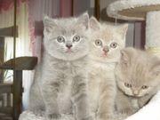 Reinrassige BKH kitten