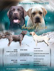 Wurfankündigung wunderschöner Labradorwelpen mit Ahnentafel