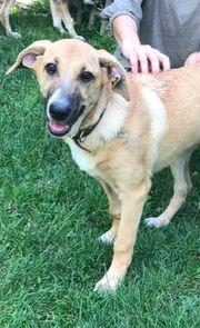 Bruce - 6 Monate alt Schäferhund-Mischling