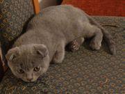 Bkh Kitten Scottish Fold in