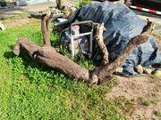 Kirschbaumwurzel zu verschenken