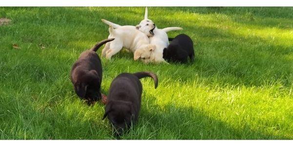 Labrador Welpen mit Ahnentafel