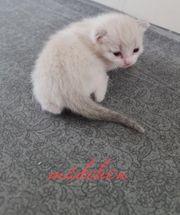 süsse siam bkh kitten