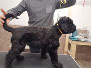 Welpen Russischer Schwarzer Terrier