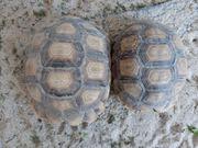 Spornschildkröten 2018 abzugeben
