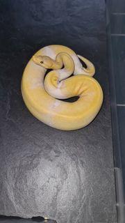 königspython banana pinstripe pied