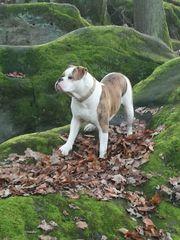 2x Old Englisch Bulldog Welpen